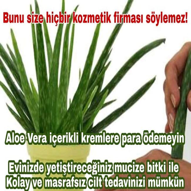 Saksınızdaki Mucize Aloe Veranın Cilt İçin Faydalarını Öğrenince