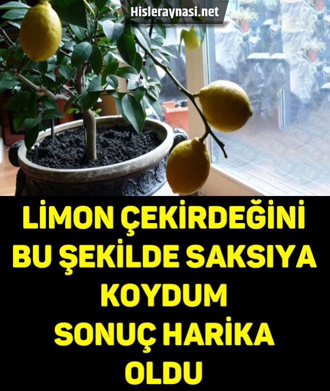 Limon Çekirdeğini Bu Şekilde Saksıya Koydum Sonuç Harika Oldu